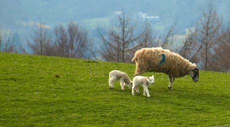 A day in the sun for the spring lambs